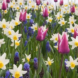 Spring Combination Ideas, Bulb Combinations, Plant Combinations, Flowerbeds Ideas, Spring Borders,Tulip Ballade, Muscari valerie Finnis, muscari Armeniacum, Daffodil Jack Snipe, Tulipa Ballade, Tulipe Ballade, Narcissus Jack Snipe