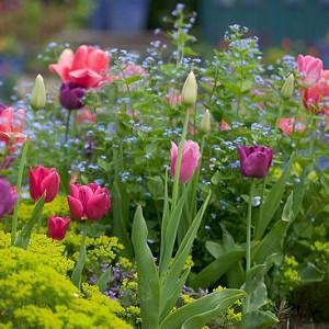 Spring Combination Ideas, Bulb Combinations, Plant Combinations, Flowerbeds Ideas, Spring Borders, Brunnera Macrophylla, Euphorbia cyparssias,Tulip 'Barcelona',Tulip 'Don Quichotte',Tulip 'Negrita',Tulip 'Pink Impression'