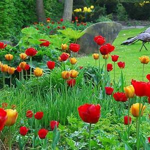 Spring Combination Ideas, Bulb Combinations, Plant Combinations, Flowerbeds Ideas, Spring Borders, Tulip Apeldoorn, Red Tulip, Yellow Tulip, Tulip Beauty of Apeldoorn, Tulipa Apeldoorn, Tulipa Beauty of Apeldoorn