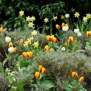 Spring Combination Ideas, Bulb Combinations, Plant Combinations, Flowerbeds Ideas, Spring Borders, Daffodil Topolino, Tulip Flair, Tulip Montreux, NarcissusTopolino, Tulipa Flair, Tulipa Montreux