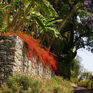 Garden ideas, Raised Beds Ideas, Firecracker Plant, Coral Plant, Fountain Plant, Russelia Equisetiformis