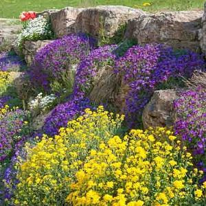 Garden Ideas, Border ideas, Rock Garden ideas, Aurinia Saxatilis, Evergreen Candytuft, Iberis Sempervirens, Aubrieta, Rock Cress,
