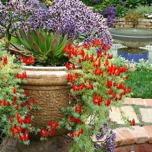 Garden Ideas, Landscaping Ideas, drought tolerant plant, Mediterranean garden, Limonium perezii, lotus berthelotii, echeveria, Parrot Beak, Sea lavender, Statice, container gardening, container growing