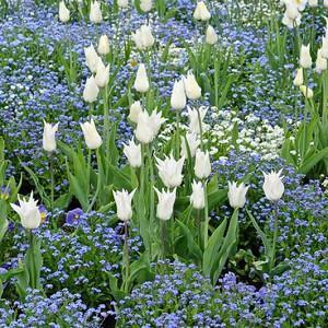 Spring Combination Ideas, Bulb Combinations, Plant Combinations, Flowerbeds Ideas, Spring Borders, Tulip White Triumphator,Myosotis sylvatica, Tulipa White Triumphator, Forget-Me-Nots, Lily-flowered tulips