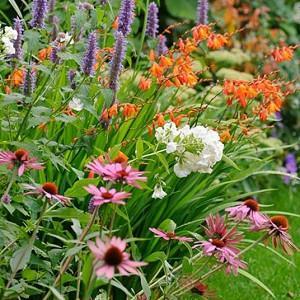 Garden Ideas, Border ideas, herbaceous borders, coneflower Magnus, Echinacea Purpurea, Anise Hyssop Blue Fortune, Agastache Blue Fortune, Montbretia, Garden Phlox