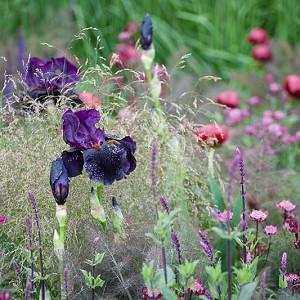 Garden Ideas, Border ideas, Perennial Planting, Perennial combination, Summer Borders, Bearded Iris, Salvia Caradonna, deschampsia, Astrantia major, paeonia, peonies
