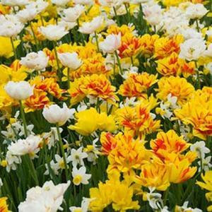 Spring Combination Ideas, Bulb Combinations, Plant Combinations, Flowerbeds Ideas, Spring Borders, Tulip Monte Carlo, Tulip Monsella, Tulip Mondial, Narcissus Jack Snipe,  Tulipa Monte Carlo, Tulipa Monsella, Tulipa Mondial, Daffodil Jack Snipe