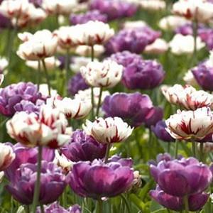 Spring Combination Ideas, Bulb Combinations, Plant Combinations, Flowerbeds Ideas, Spring Borders, Tulip Blue Diamond, Tulip Carnaval de Nice,Tulipa Blue Diamond, Tulipa Carnaval de Nice,Tulipe Blue Diamond, Tulipe Carnaval de Nice