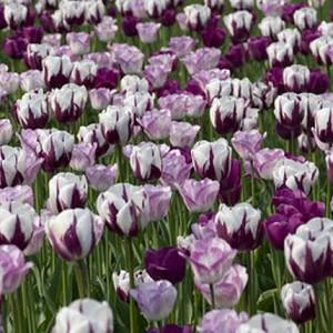 Spring Combination Ideas, Bulb Combinations, Plant Combinations, Flowerbeds Ideas, Spring Borders, Purple Border, Tulip Negrita, Purple Tulip, Tulip Shirley, Tulipa Negrita, Tulipa Shirley, Tulipe Negrita, Tulipe Shirley, Tulip Zurel, Tulipa Zurel
