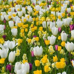 Spring Combination Ideas, Bulb Combinations, Plant Combinations, Flowerbeds Ideas, Spring Borders, Tulip Purple Flag,Tulip Hamilton,Tulip Purissima,Daffodil Minnow, Fritillaria Imperialis,Tulipa Purple Flag,Tulipa Hamilton,Tulipa Purissima,Narcissus Minno