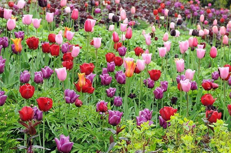Spring Combination Ideas, Bulb Combinations, Plant Combinations, Flowerbeds Ideas, Spring Borders, Tulip Ballerina, Tulip Black Parrot, Tulip Passionale, Tulip Mistress, Tulipa Ballerina, Tulipa Black Parrot, Tulipa Passionale, Tulipa Mistress