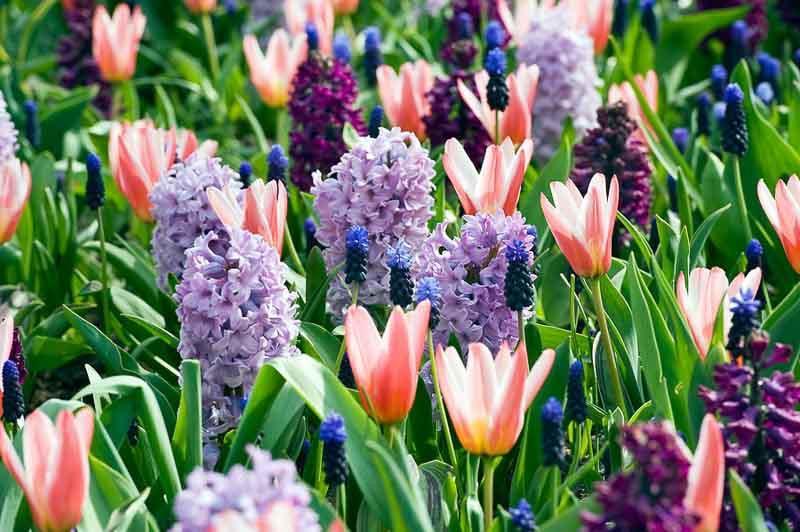 Spring Borders, Bulb Combinations, Perennial Combinations, Tulip Heart's Delight, Hyacinth Woodstock, Hyacinth Splendid Cornelia, Muscari Latifolium, Spring Border Idea, Early spring border