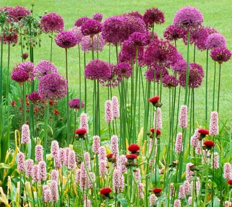 Spring Combination Ideas, Bulb Combinations, Plant Combinations, Flowerbeds Ideas, Spring Borders, Summer Borders, Allium, Purple sensation, Persicaria Superba, cirsium rivulare atropurpureum