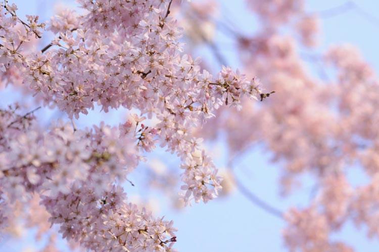 Prunus Flowering Trees