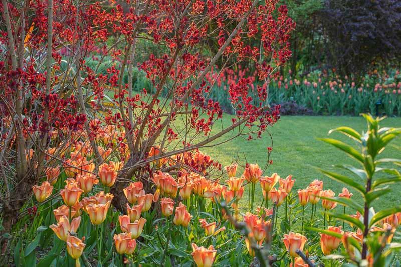 Spring Combination Ideas, Bulb Combinations, Plant Combinations, Flowerbeds Ideas, Spring Borders, Tulip Orange Emperor, Cotinus Royal Purple, Cotinus coggyria, Smoke tree, Smoke bush, orange flowers