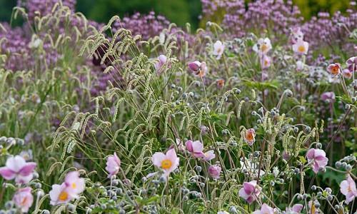 Garden Ideas, Border ideas, Perennial Planting, Perennial combination, Summer Borders, Fall Borders, Sanguisorba Tenuifolia, Anemone 'Queen Charlotte', Verbena bonariensis