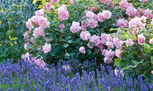Plant Combinations, Flowerbeds Ideas, Summer Borders, Fragrant Borders, Rose 'Felicia', Eryngium zabellii 'Big Blue', Lavandula angustifolia 'Lavenite Petite', Dianthus 'Mrs Sinkins', Dianthus Memories, Sea Holly Big Blue, Eryngium Big Blue, Lavender Lave