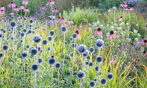 Summer borders, Garden Ideas, Border ideas, Perennial Planting, Perennial combination, Perennial Meadow, Echinacea pallida, Pale purple Conflower, Globe thistle, Echinops Ritro Veitch's Blue, Agastache rugosa