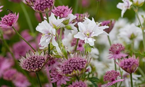 Garden ideas, Border ideas, Plant Combinations, Flowerbeds Ideas, Summer Borders, Geranium Double Jewel, Geranium Pratense, Double Geranium, Astrantia, Astrantia Major, Great Masterwort