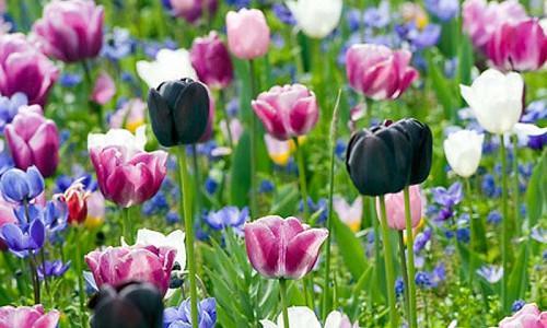Spring Combination Ideas, Bulb Combinations, Plant Combinations, Flowerbeds Ideas, Spring Borders, Tulip Queen of Night, Tulip Shirley, Tulip Menton,Tulip Maureen,Anemone Blanda,Anemone Coronaria,Muscari armeniacum