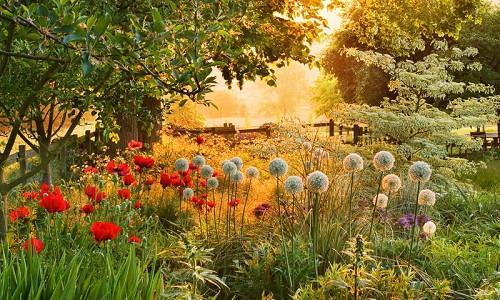 Plant Combinations, Flowerbeds Ideas, Spring Borders, Summer Borders, Allium , Allium Mount Everest, Opiental Poppies, Papaver Orientale, Cornus controversa Variegata