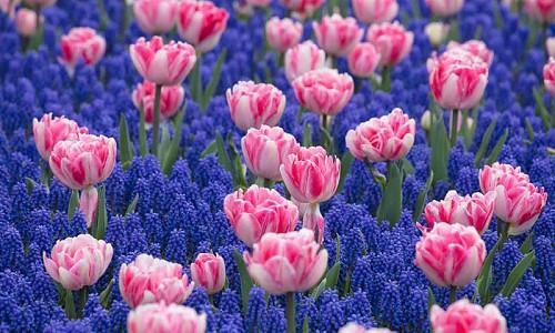 Spring Borders, Bulb Combinations, Perennial Combinations, Tulip Foxtrot, Tulipa Foxtrot, Muscari Armeniacum, Pink Tulips, Grape Hyacinth