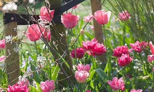 Spring Borders, Bulb Combinations, Perennial Combinations, Tulip Design Impression, Tulip Queen of Marvel, Tulip Fancy Frills, Anemone blanda Blue Shades