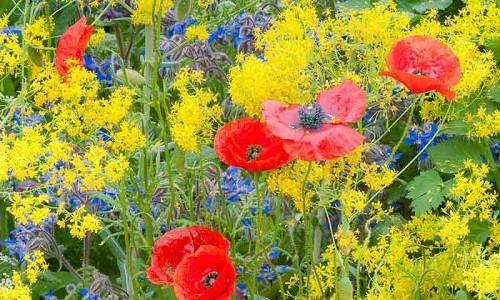 Garden Ideas, Border ideas, Summer border, Fall Border, Borage, Borago Officinalis, Papaver, Poppy, Poppies, Isatis tinctoria, Dyer's Woad, Woad
