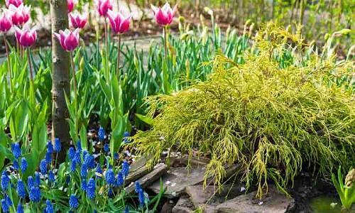 Spring Combination Ideas, Bulb Combinations, Plant Combinations, Flowerbeds Ideas, Spring Borders, Chamaecyparis pisifera, Sawara cypress, Tulip Ballade, muscari armeniacum, grape Hyacinth