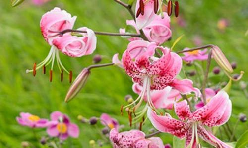 Perennial Combinations, Plant Combinations, Flowerbeds Ideas, Summer Borders, Fall Borders, Anemone hupehensis, Japanese Anemones, Oriental lily, Lilium speciosum 'Rubrum', Anemone hupehensis var. japonica