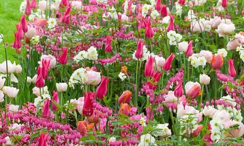 Spring Combination Ideas, Bulb Combinations, Plant Combinations, Flowerbeds Ideas, Spring Borders, Tulip Angelique, Tulip Menton, Tulip Mariette,Tulip China Pink, Narcissus Geranium, Dicentra Spectabilis