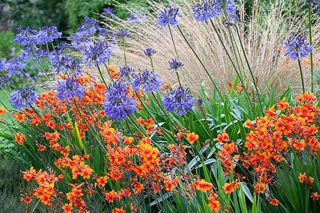 A Brilliant Summer Border Idea With Crocosmia Agapanthus And Grasses