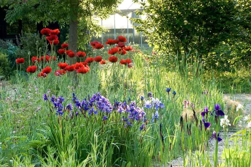 Spring Combination Ideas, Bulb Combinations, Plant Combinations, Flowerbeds Ideas, Spring Borders,Summer Borders, Siberian Iris, Iris Sibirica, Papaver oriental, Oriental poppies