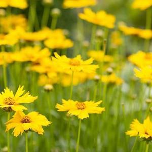 Tickseed, Coreopsis, perennial flowers, drought tolerant perennials, yellow flowers, deer resistant perennials, dry soil perennials, Coreopsis verticillata, Coreopsis grandiflora, Coreopsis lanceolata, Coreopsis hybrids