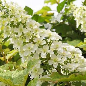 Hydrangea Quercifolia, Oakleaf Hydrangea, Hydrangea Snowflakes, Hydrangea Snow Queen, Hydrangea Flemygea