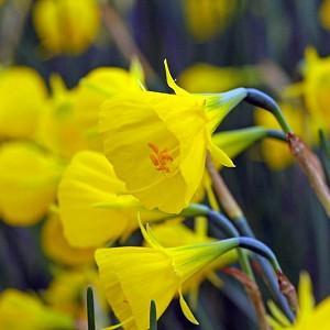 Narcissus Bulbocodium, Hoop Petticoat Daffodil, Daffodil, Spring bulb, Spring, full sun, Partial Shade