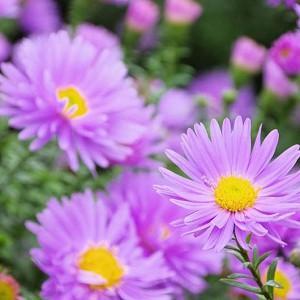 Aster Novi-Belgii, New York Aster, Michaelmas Daisy, Symphyotrichum novi-belgii, Fall perennials, Purple flowers, Pink flowers
