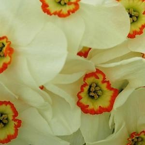 Narcissus Poeticus, Poet Daffodil, Narcissus Poeticus Recurvus