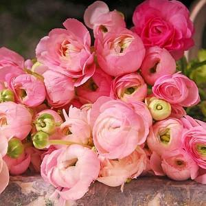 Persian buttercup, Ranunculus Asiaticus, Turban Buttercup, Persian Crowfoot, spring flowering bulb, fall flowering bulb