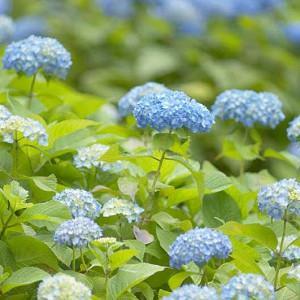 Hydrangea macrophylla, BigLeaf Hydrangea, Hortensia, Mophead Hydrangea, Lacecap Hydrangea, French Hydrangea