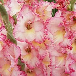 Gladiolus, Gladioli, Glads, Sword-lilies, Sword-lily, summer bulbs, large-flowered Glads, Miniature Glads, Gladiolus grandiflorus, Gladiolus hortulanus, Gladiolus communis, Peacock Orchids, Gladiolus muriale, Dwarf Glad, Gladiolus nanus, Glamini Glads.