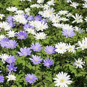 Anemone Blanda, Grecian Windflower, Wood Anemone, Spring Bulbs, Spring Flowers, Anemone Blanda White Splendour, Anemone Blanda Blue shades, Bulbs Design, Spring Bulbs, Fall Bulbs, Landscaping Design, Garden Ideas,