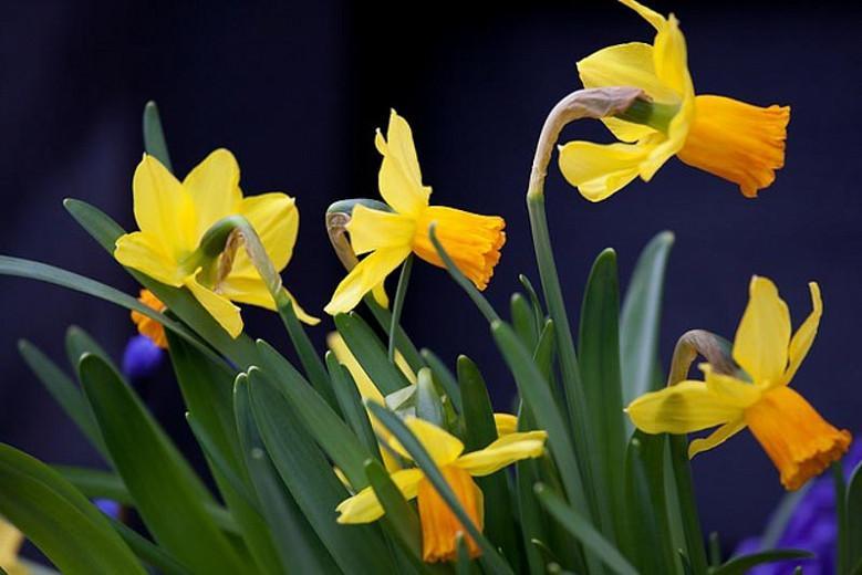 Narcissus Cyclamineus, Miniature Daffodil, Cyclamen-Flowered Daffodil, Cyclamen Daffodil, Spring Bulbs, Spring Flowers, Daffodils, Daffodil Jetfire, Daffodil Jack Snipe, Daffodil Peeping Tom, Narcissus Jetfire, Narcissus Jack Snipe, Narcissus Peeping Tom,