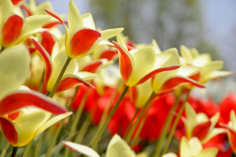 Tulipa batalini,Tulipa humilis,Tulipa bakeri,Tulipa clusiana,Tulipa chrysantha, Tulipa dasystemon,Tulipa hageri,Tulipa sylvestris,Tulipa turkestanica