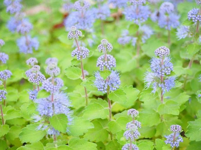 Bluebeard, Blue Mist, Blue Spirea, Blue Mist Spirea, Caryopteris incana, Caryopteris x clandonensis, Caryopteris divaricata, Blue Flowers, Late Summer Perennials, Late Summer Shrubs