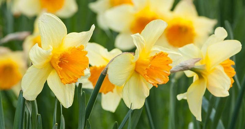 Daffodil Types
