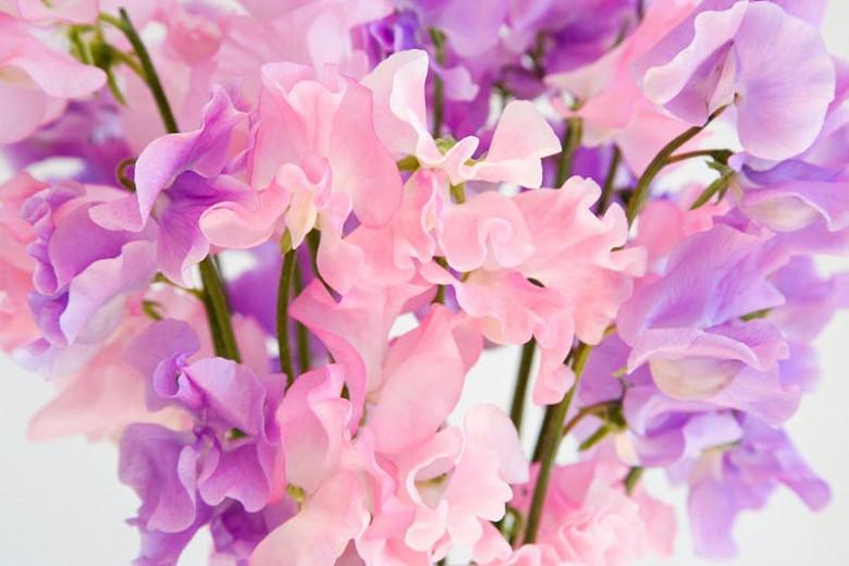 Lathyrus Odoratus, Sweet Pea, Annual plant, Fragrant Plant, Climbing plant,Annual Flowers, Fragrant Flowers Climbing Flowers