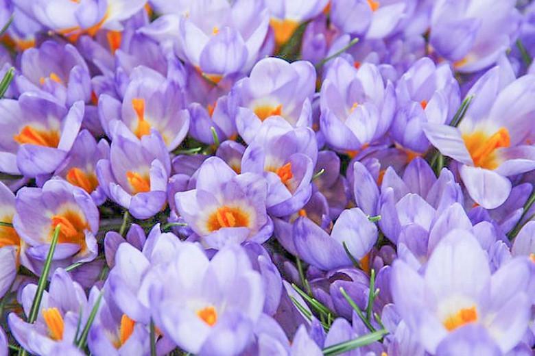 Crocus Sieberi, Crocus Firefly, Crocus Violet Queen, Crocus Bowles White, Crocus Tricolor, Botanical Crocus, Sieber's Crocus, Snow crocus