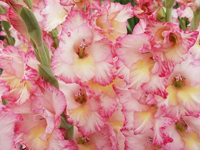 Gladioli Sword Lilies