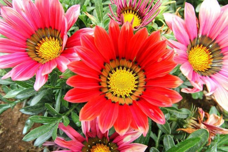 Gazania, Treasure Flower, African daisy, African daisies, Gazania rigens, Drought tolerant flowers, Drought tolerant perennials, Long blooming season